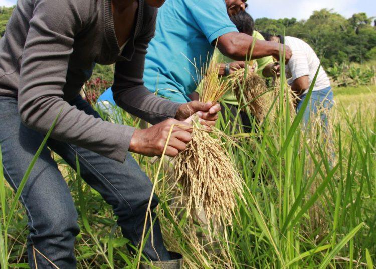 Sessenta pessoas participaram do mutirão da colheita de arroz, na comunidade do quilombo Morro Seco.
